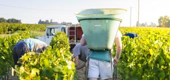 Winobranie – sezonowa praca we Francji