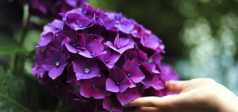 Hortensje – piękne i łatwe w uprawie