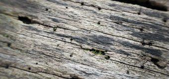 Spuszczel i kołatek domowy – najbardziej popularne szkodniki drewna