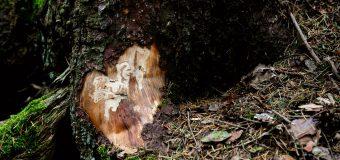 Metody walki z kornikami – szkodnikami drewna
